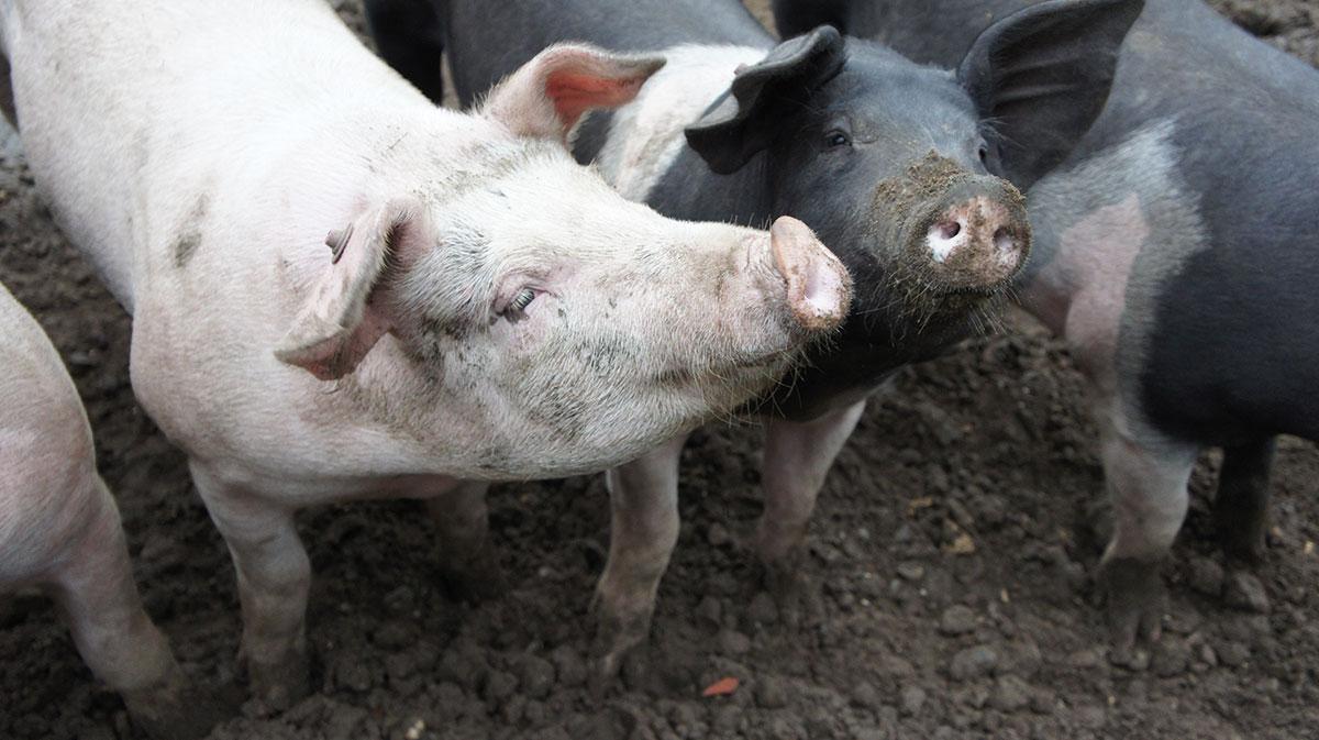 otto gourmet Halbwildes Ibérico-Schwein