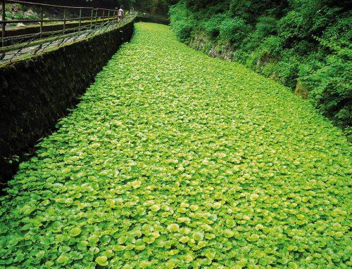 Wasabi – grün, scharf und echt?