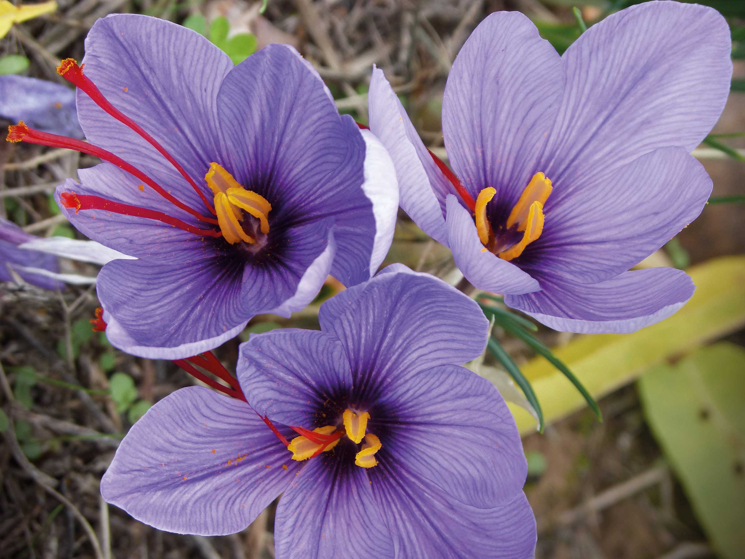 safran krokusblüte