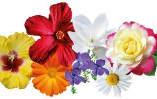 Blüten in der Kosmetik