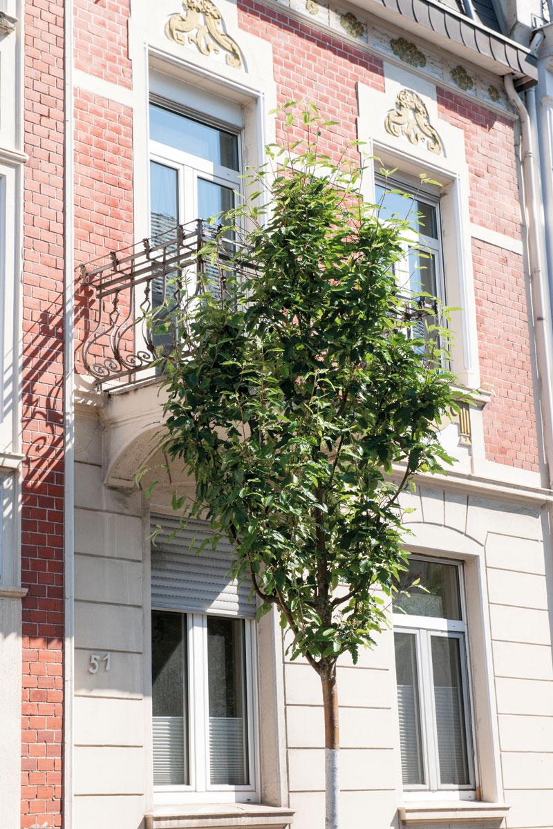Sorbus thuringiaca Fastigiata, Säulen-Eberesche